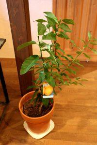 リロンデル(レモンの木)