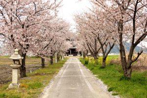 川桁神社参道の櫻