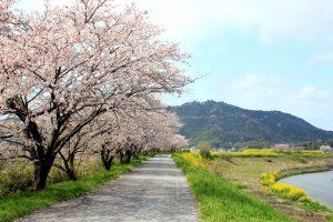 宇曽川堤の櫻