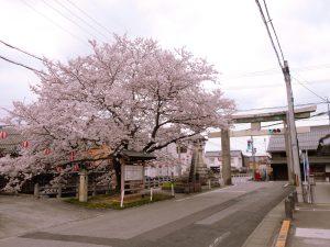 旧高宮宿・多賀大社南参道の櫻.