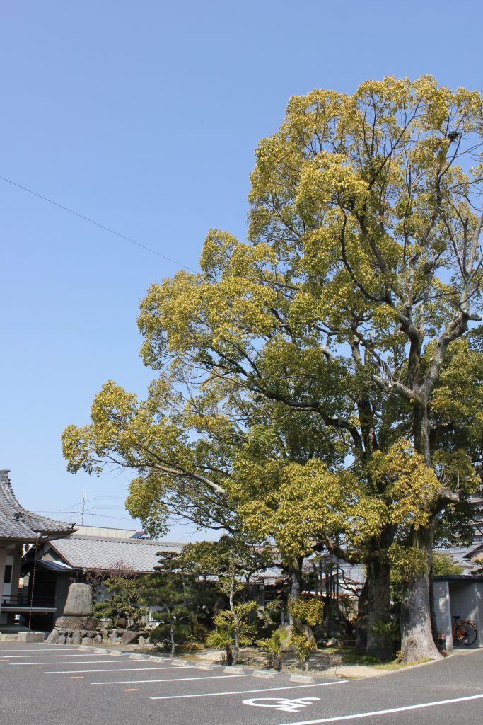 伝・常善寺の松(ムクノキ)